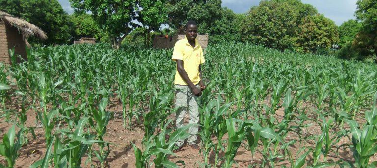Bauer in Malawi steht inmitten von jungen Maispflanzen. Er lernt im FFF-Projekt Prinzipien der nachhaltige Landwirtschaft